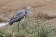 Schwarzhalsreiher / Black-headed heron / Ardea melanocephala