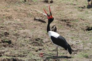 Sattelstorch / Saddle-billed stork / Ephippiorhynchus senegalensis
