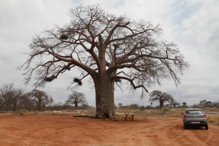 Afrikanischer Affenbrotbaum / African Baobab / Adansonia digitata