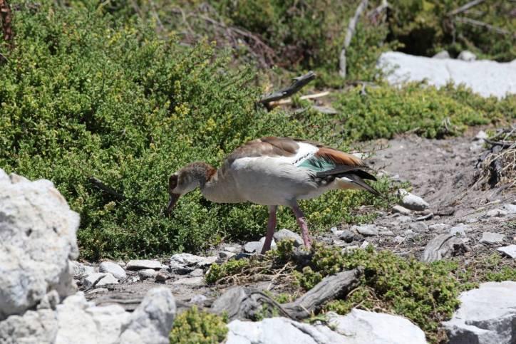 Nilgans / Egyptian Goose / Alopochen aegyptiacus