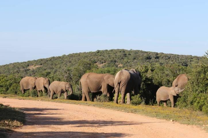 Elefantenherde beim Fressen