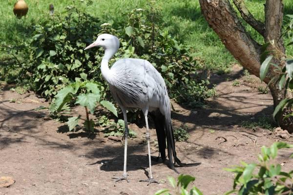Paradieskranich / Blue crane / Anthropoides paradisea, Grus paradisea