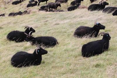 Hausschaf / Sheep / Ovis gmelini aries