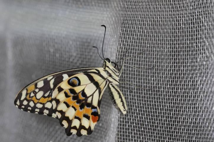 Citrus Schwalbenschwanz / Lime butterfly / Papilio demoleus