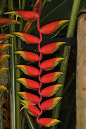 Hängende Hummerschere / Lobster claw, False-bird-of-paradise / Heliconia rostrata