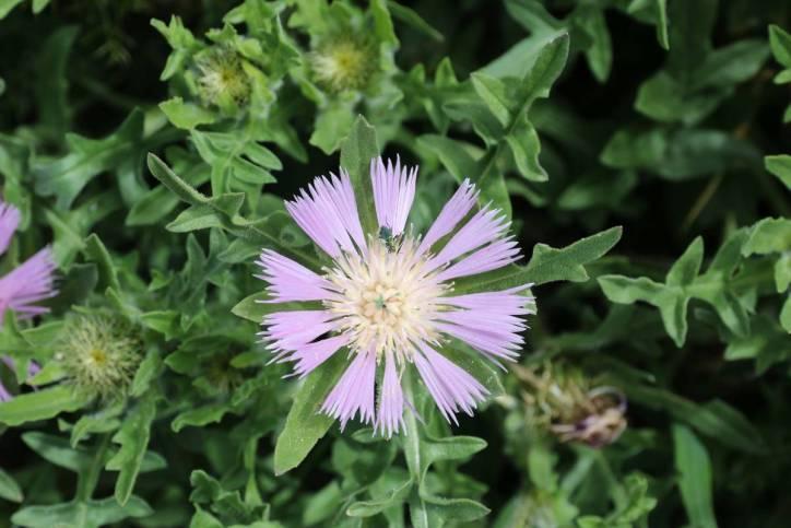 Centaurea pullata