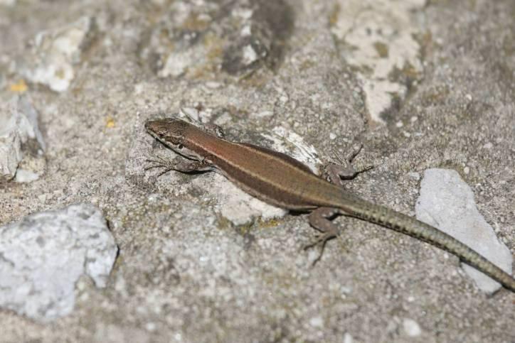 Südiberische Mauereidechse / Andalusian wall lizard / Podarcis vaucheri