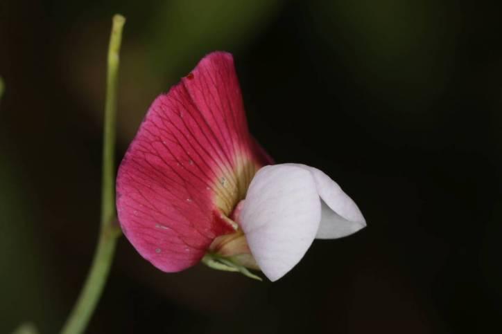 Purpur-Platterbse / Spanish vetchling / Lathyrus clymenum