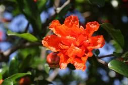 Granatapfelblüte