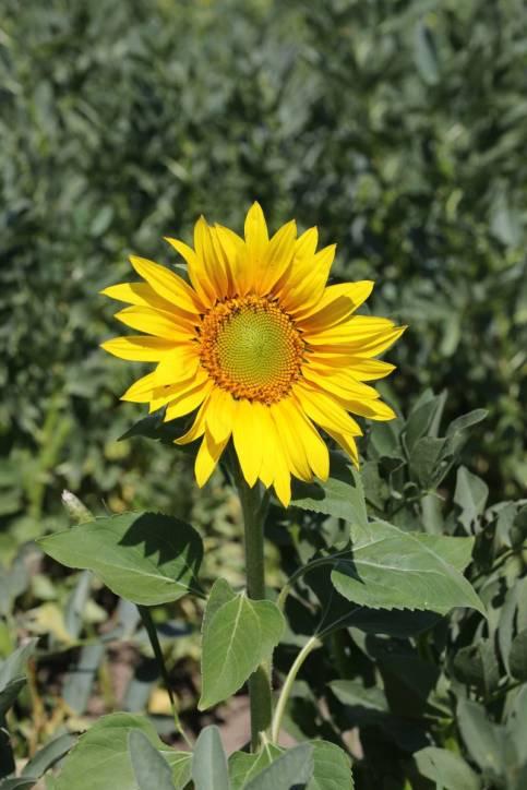 Sonnenblume / Common sunflower / Helianthus annuus