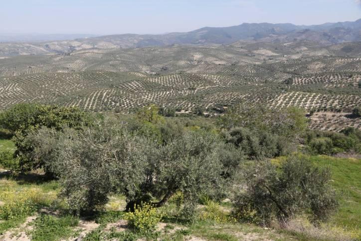 Olivenbaumplantage