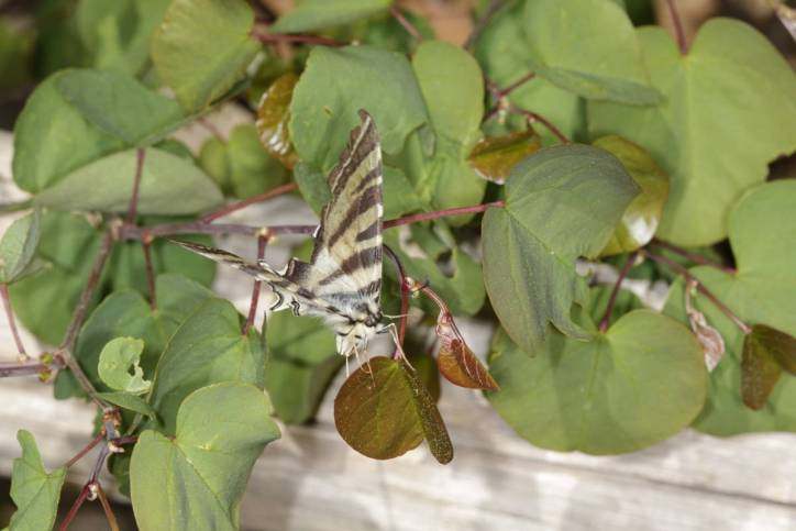 Iberischer Segelfalter / Southern swallowtail / Iphiclides feisthamelii ?