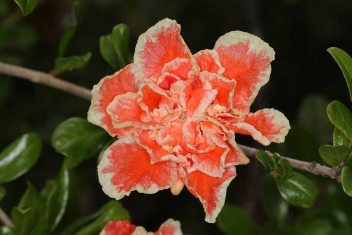 Granatapfel / Pomegranate / Punica granatum