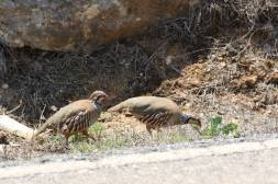 Rebhuhn / Grey partridge, Hungarian partridge, Partridge / Perdix perdix