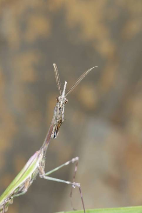 Haubenfangschrecke / Conehead mantis / Empusa pennata