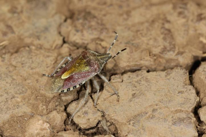 Purpur-Fruchtwanze / Carpocoris purpureipennis ?