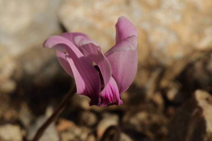 Zimmer-Alpenveilchen / Cyclamen persicum, Abutilon sellowianum