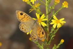 Mauerfuchs / Wall brown / Lasiommata megera
