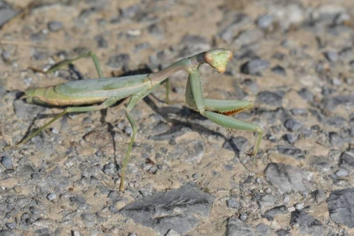 Europäische Gottesanbeterin / European mantis / Mantis religiosa