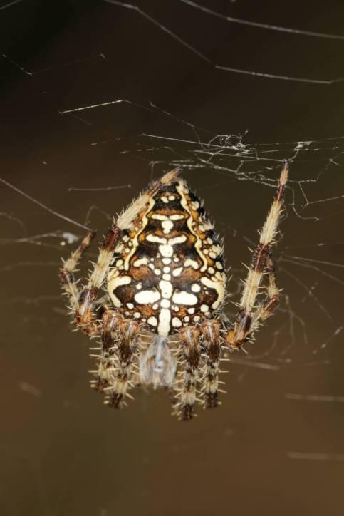 Gartenkreuzspinne / European garden spider, Cross orb-weaver / Araneus diadematus