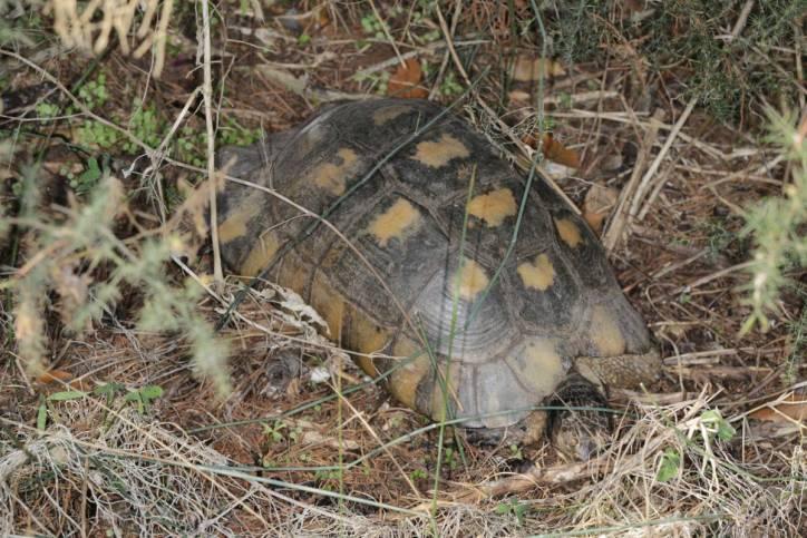 Griechische Landschildkröte, Hermann Landschildkröte / Hermann's Tortoise / Testudo hermanni
