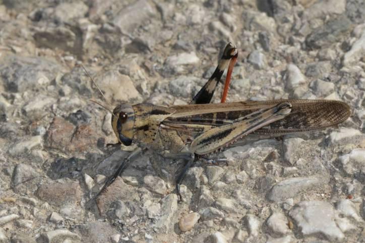 Europäische Wanderheuschrecke / Migratory locust / Locusta migratoria