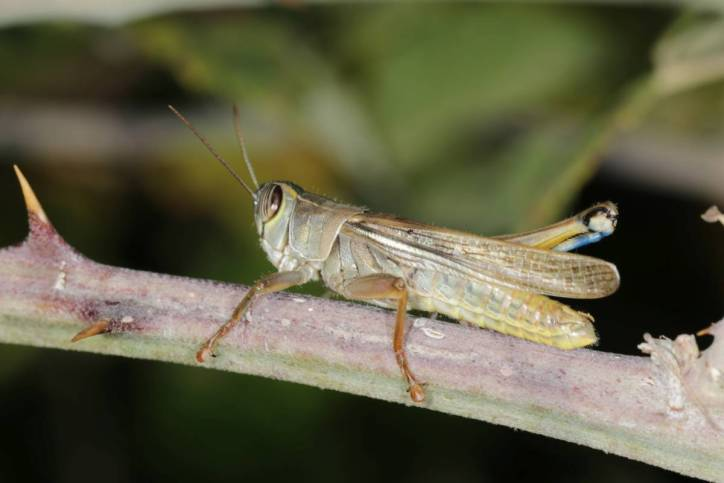 Eyprepocnemis plorans