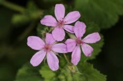Blüte eines Malvenblättrigen Reiherschnabels