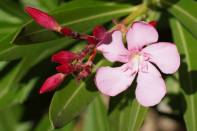 Oleanderblüte und Knospen