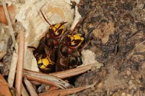Hornissen am Nest