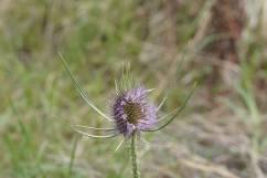 Blüte einer Wilden Karde