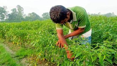 Photo of কাহালুতে মরিচের দাম ও বাম্পার ফলনে খুশি কৃষকেরা