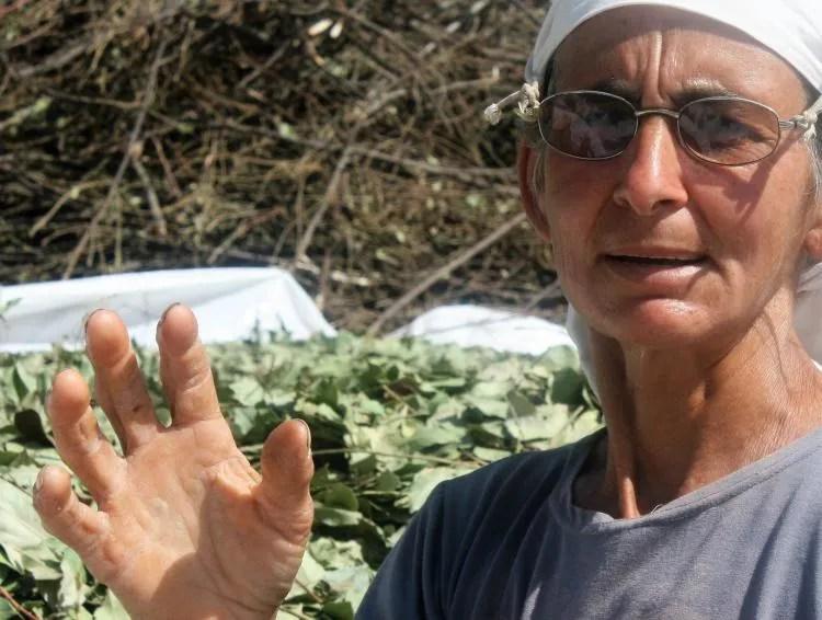 Laurierbladeren plukken in Turkije