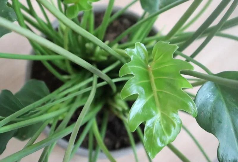 Philodendron Xanadu van Green Lifestyle Store