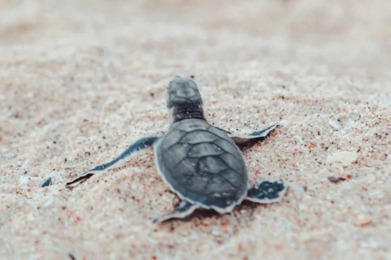 Het Schildpaddenreservaat Ras Al Jinz, Oman