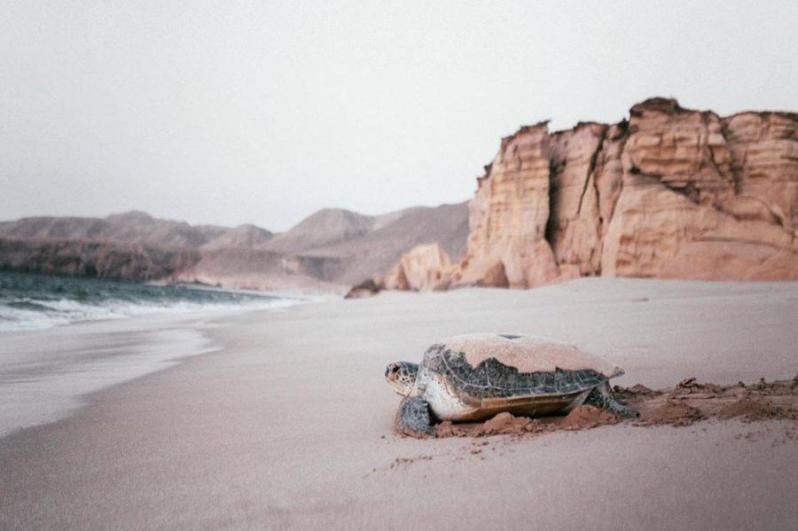 Het beschermde Schildpaddenreservaat Ras Al Jinz, Oman