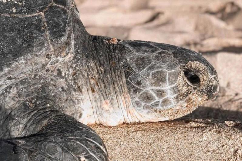 Ras Al Jinz Schildpaddenreservaat in Oman