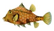 Tetrosomus Gibbosus