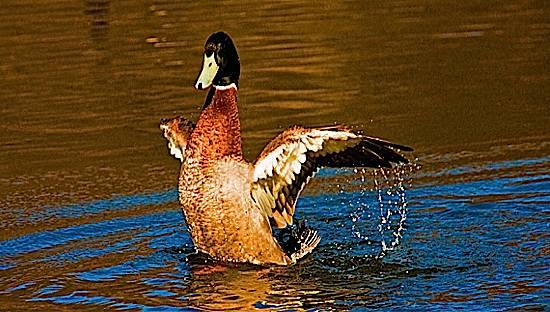 evil duck.jpg