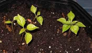 naga jolokia seedlings bb.jpg