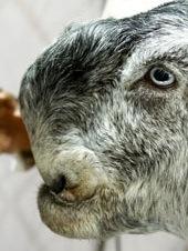 odd-goat.jpg