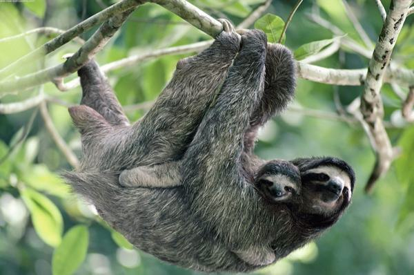 four fun facts about sloths boing boing