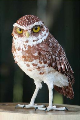 Images Owls Raptors Burrowingowl-288X432