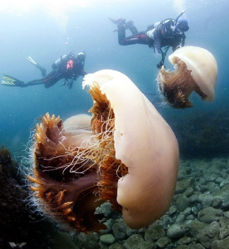 News 2009 07 Photogalleries Giant-Jellyfish-Invasion-Japan-Pictures Images Primary 090729-01-Giant-Jellyfish-Invasion Big