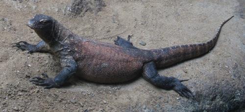 Wikipedia Commons 3 3F Varanus Komodoensis