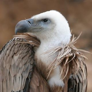 Wikipedia Commons 4 4E Eagle Beak Sideview A