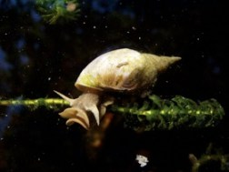 Wikipedia Commons D D6 Water Snail Rex 2