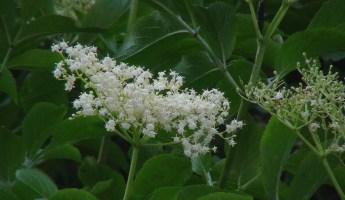 Haïku #2136 : Les sureaux en fleur