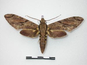Xanthopan morganii praedicta ( - BC-MNHN0089)  4 [ ] Copyright (2010) Jacques Pierre Museum National d`Histoire Naturelle, Paris