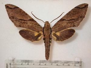 Xanthopan morganii praedicta ( - BC-Basq0317)  4 [ ] Copyright (2010) Patrick Basquin Research Collection of Patrick Basquin